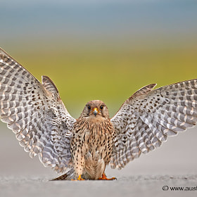 A wild Kestrel describing just how big the mouse was that he saw...