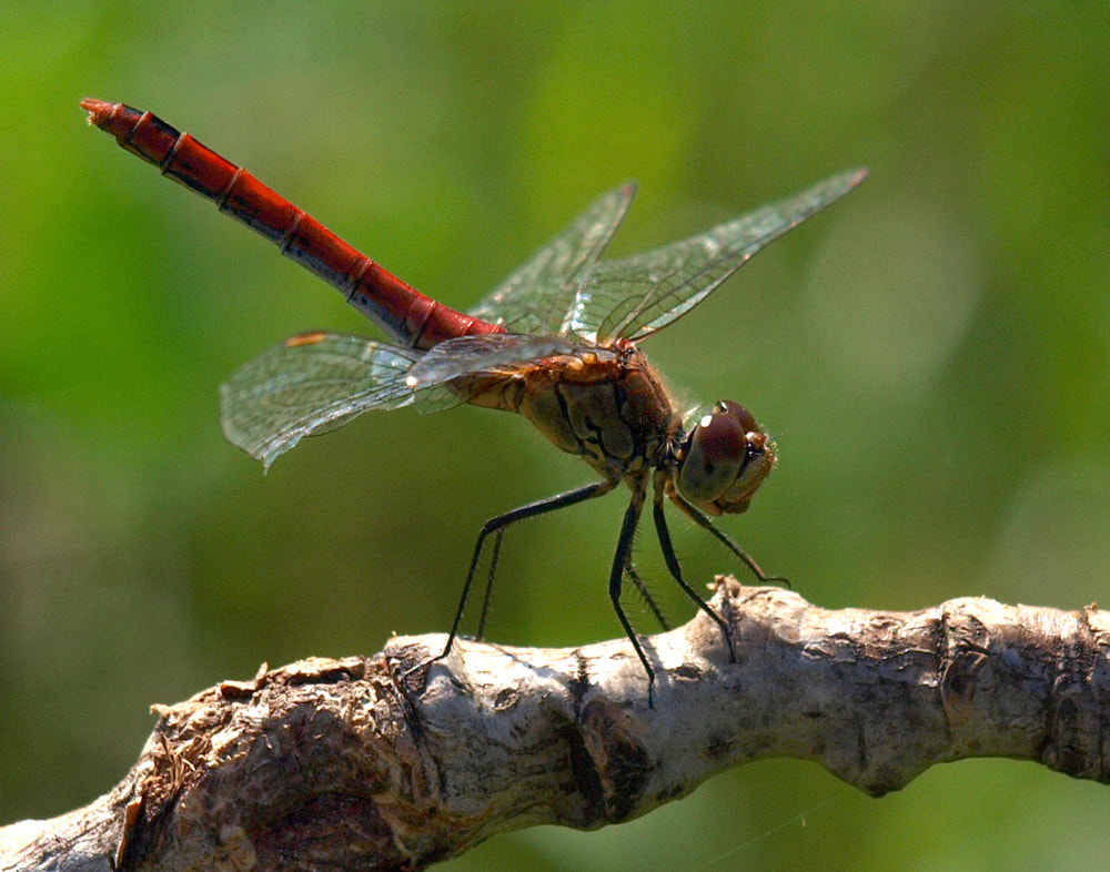 Photograph Dragonfly by Aldebaran Aldebaran on 500px