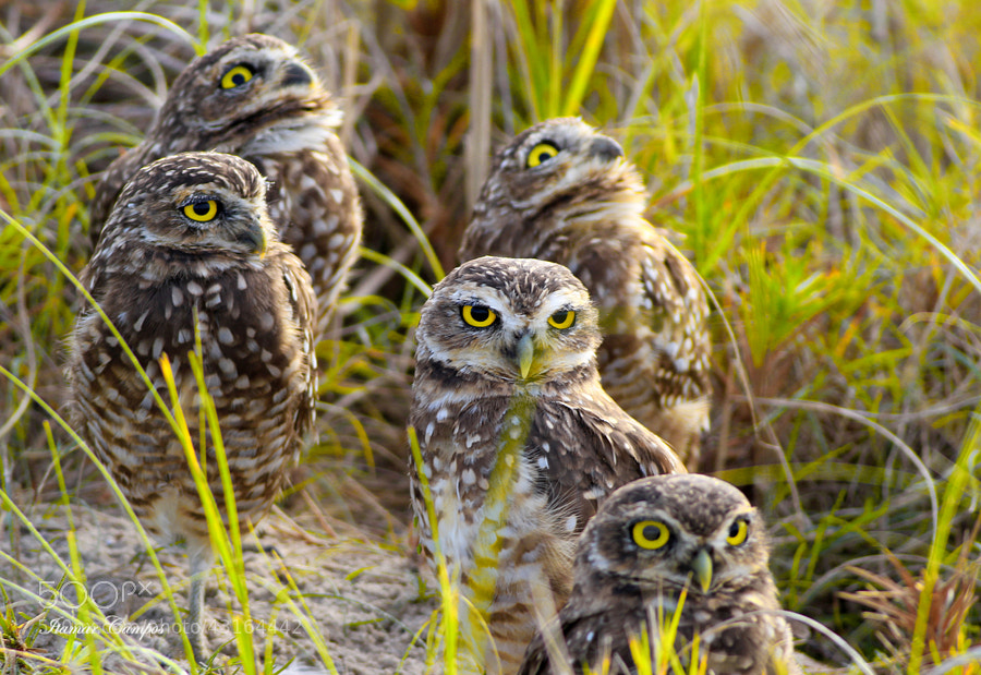 Photograph Owl Family! by Itamar Campos on 500px