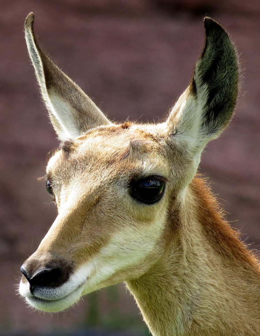 Photograph Baby Antelope by Kevin Fechtelkotter on 500px