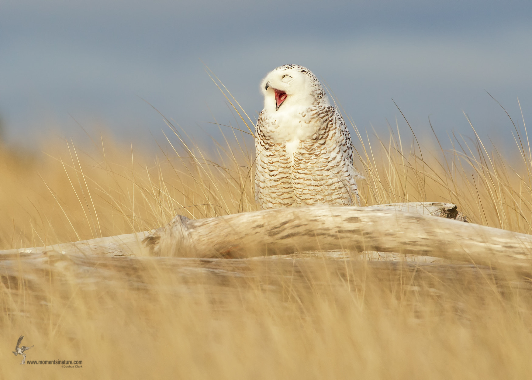 Photograph Snowy Owl by Joshua Clark on 500px