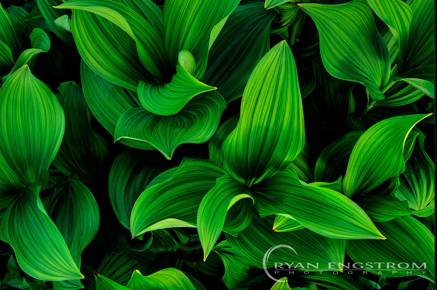 Photograph Corn Lily by Ryan Engstrom on 500px