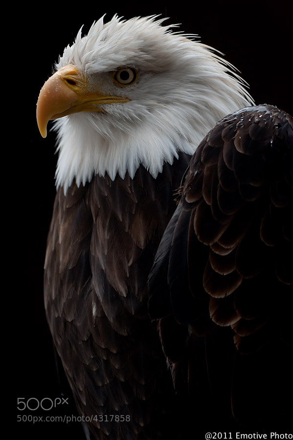Photograph Majestic Bald Eagle by Dean Borojevic on 500px