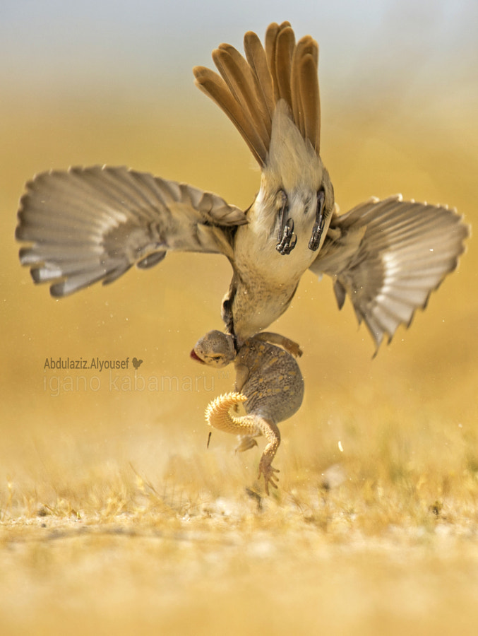 Photograph Turkestan Shrike ‹Lanius phoenicuroides› hunting Spiny-tailed  Lizard by igano Kabamaru on 500px