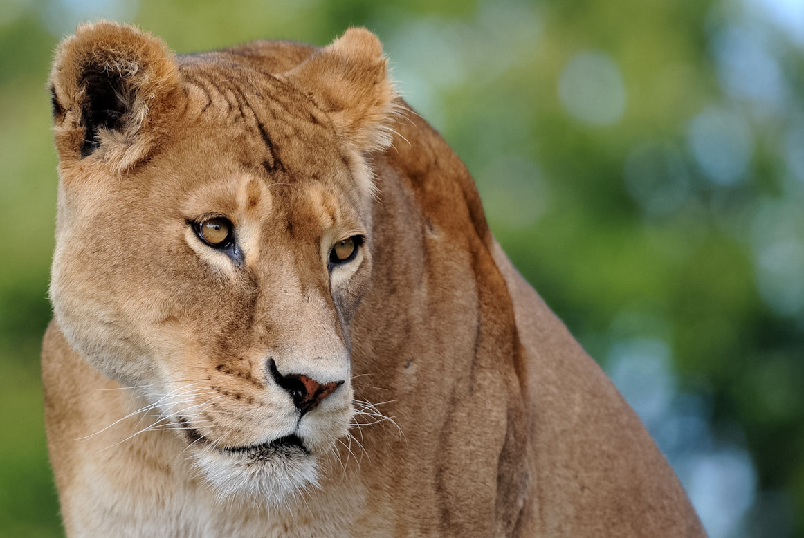 Photograph Lioness by Peter Hausner Hansen on 500px