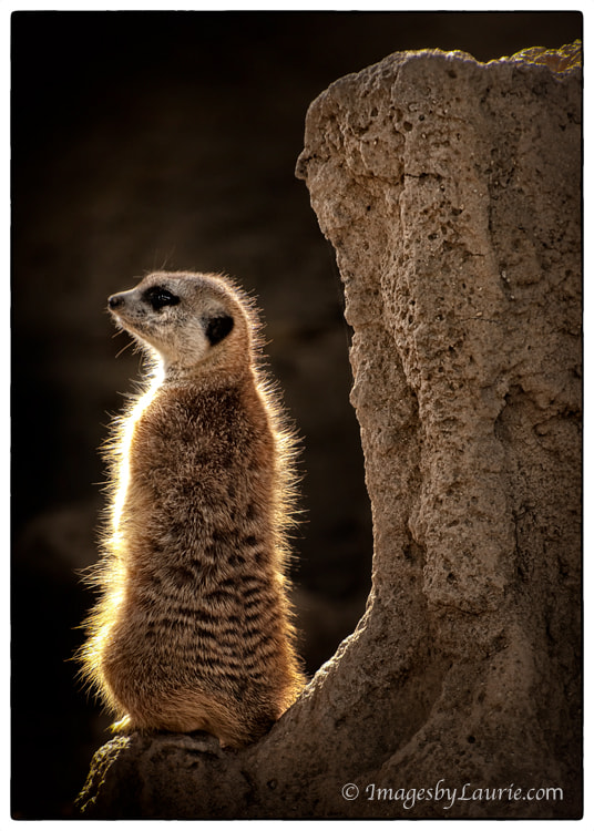 I noticed the shape of the rock and it caught my eye along with the backlit Meerkat.