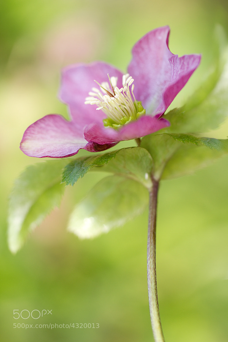 Photograph Lenten rose by Mandy Disher on 500px