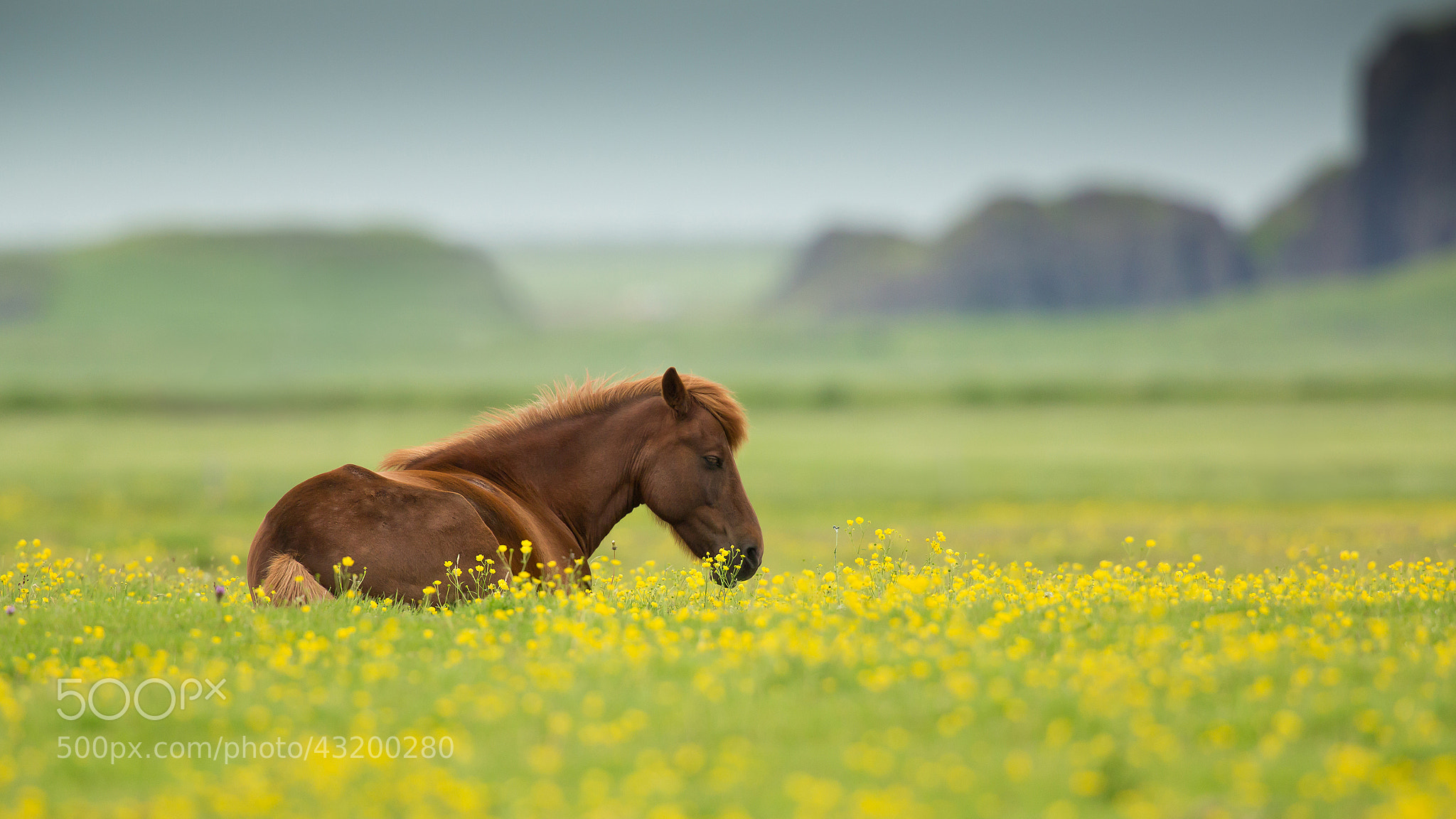 Photograph Icelandic Horse by Milan Zygmunt on 500px