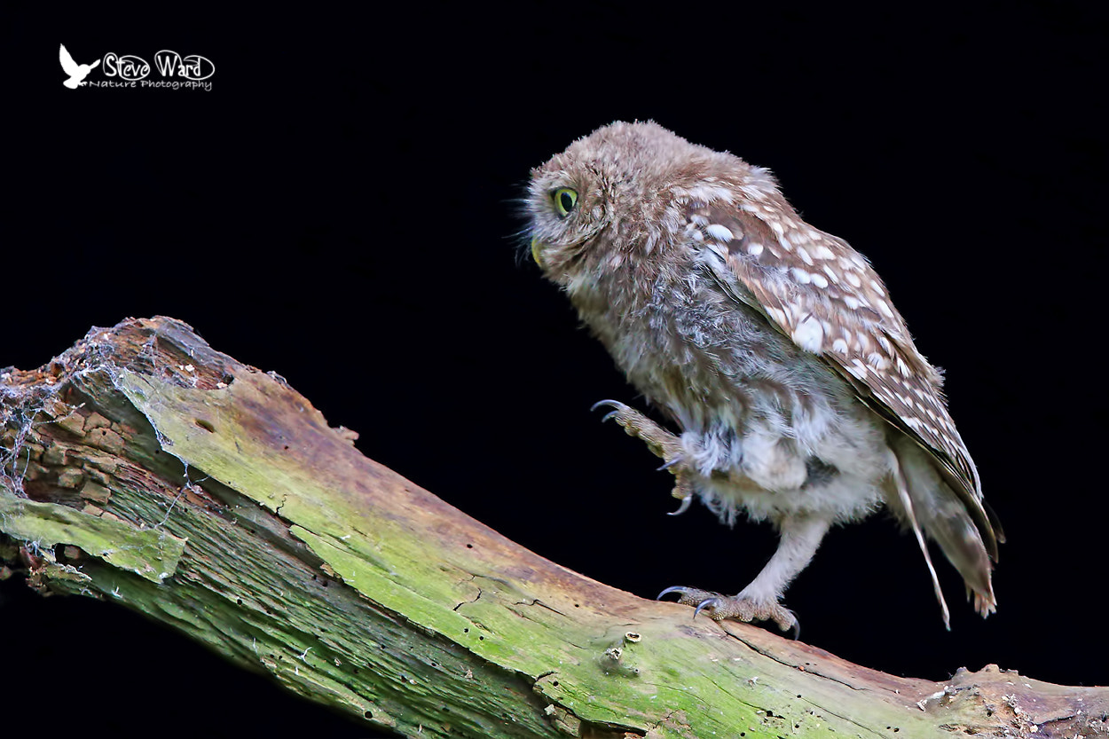 Photograph Little Owl Step Aerobics by Steven Ward  on 500px