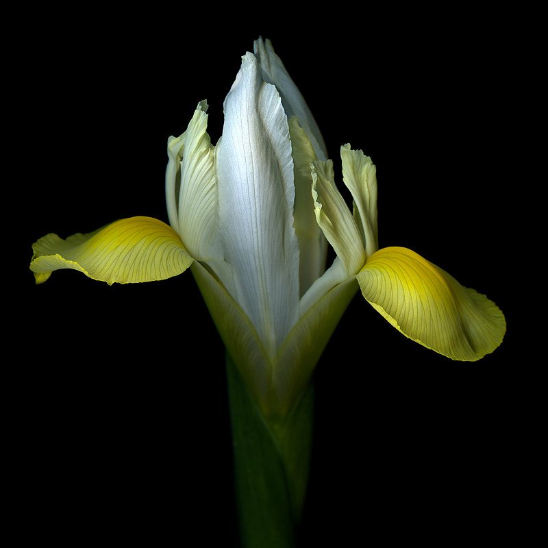 Photograph THE ARABESQUE of THE YELLOW and WHITE IRIS... by Magda Indigo on 500px