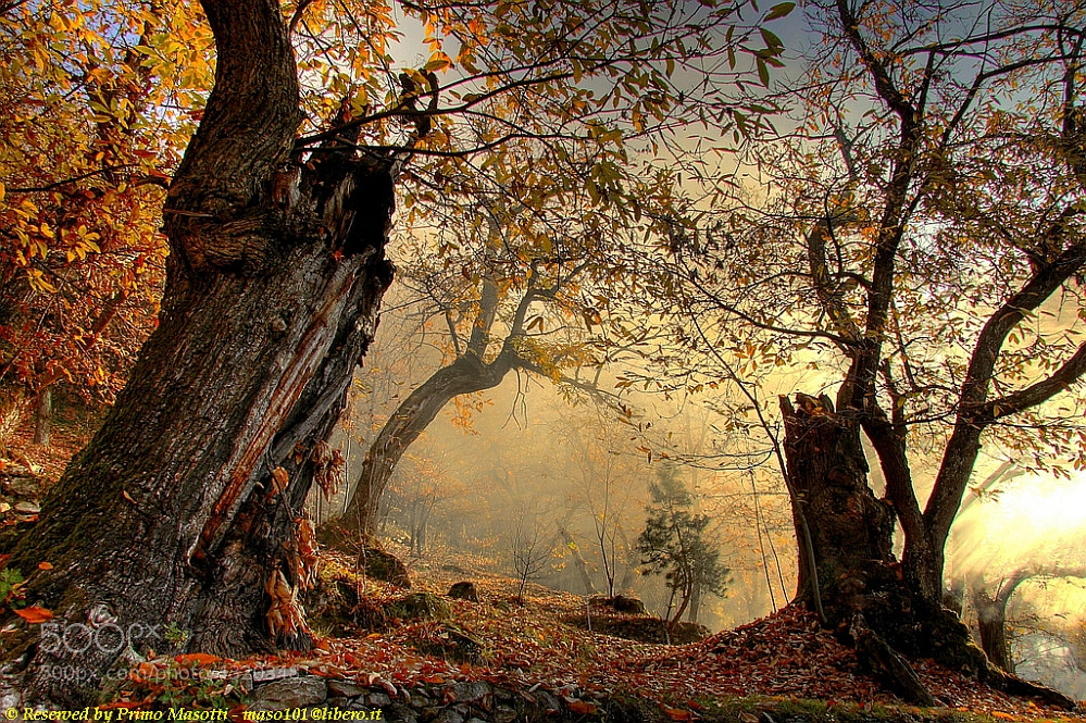 Photograph The wood of the chestnut trees of my childhood - Missano - (zocca modena italy) _8560_ DVD 14 ( 26.1 by primo masotti on 500px