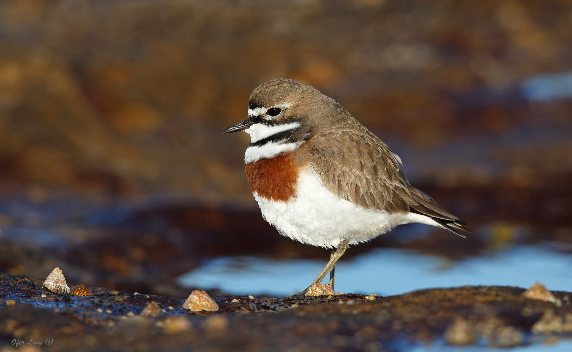 Photograph Double-banded Plover by Ofer Levy on 500px