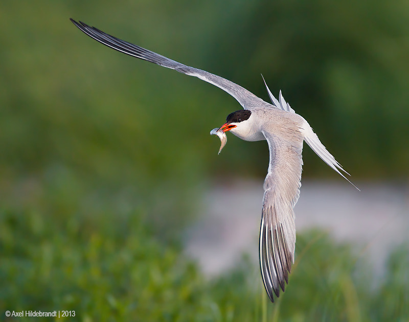 Photograph Common Tern at First Light by Axel Hildebrandt on 500px