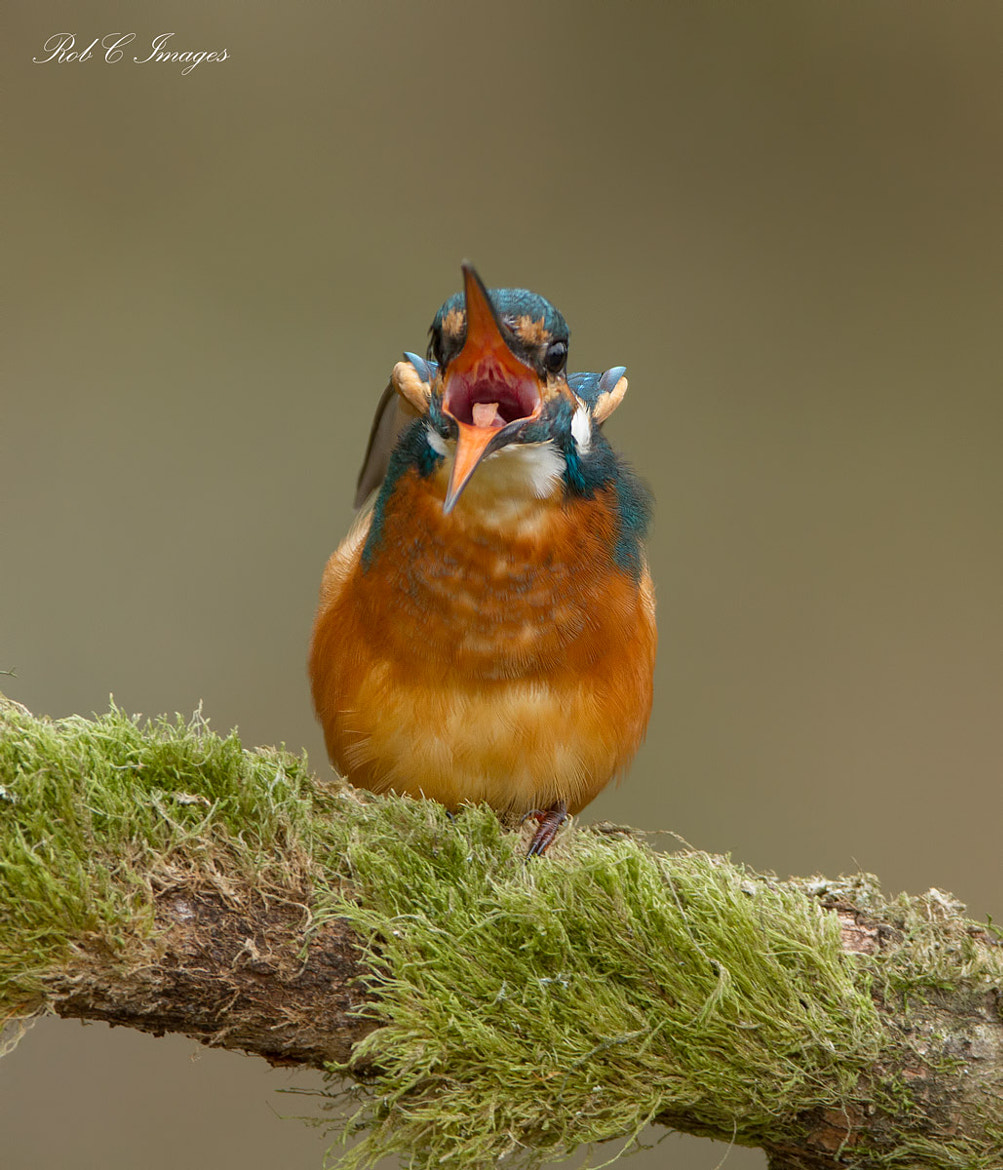 Photograph Kingfisher by Rob Cross on 500px