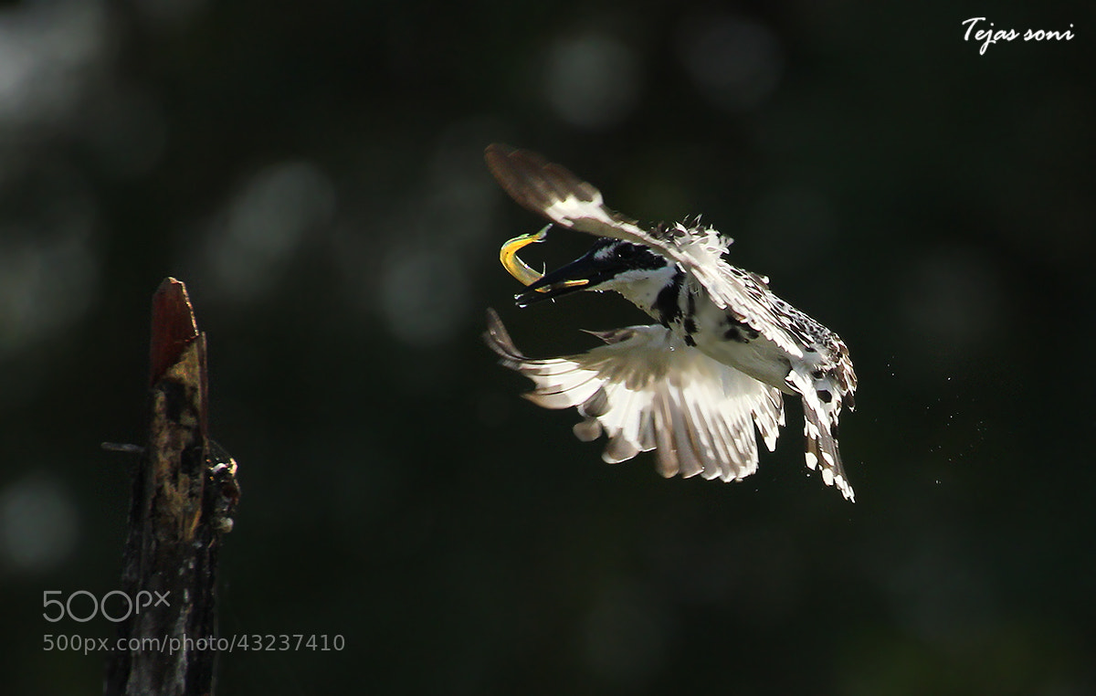 Photograph Pied kingfisher by Tejas Soni on 500px