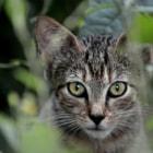 Feral domestic kitten