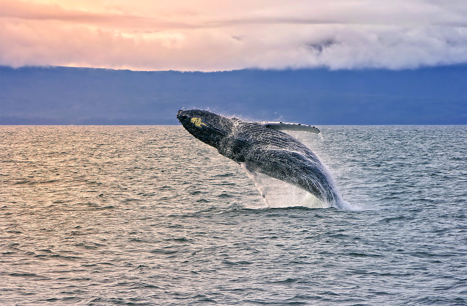Photograph A Whale Leap by Austin Hill on 500px