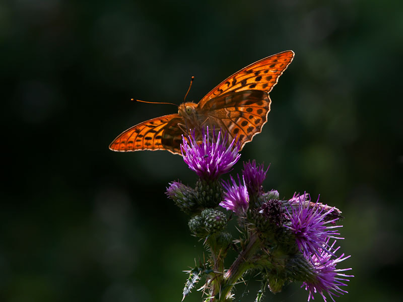 Photograph silver-washed fritillary by dave blackwell on 500px