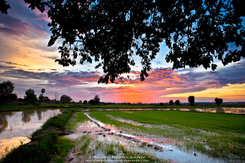 Photograph Evening rice field by Mardy Suong Photography on 500px