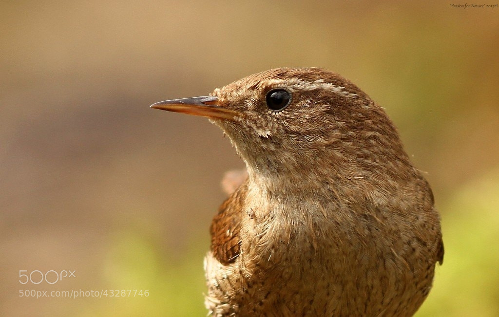 Photograph Eurasian Wren by Astrid  Stokvis on 500px