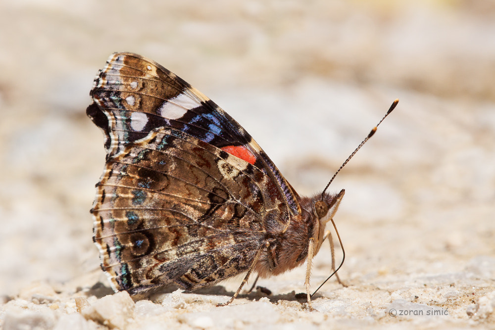Photograph Vanessa atalanta (Red Admiral) by zoran simic on 500px