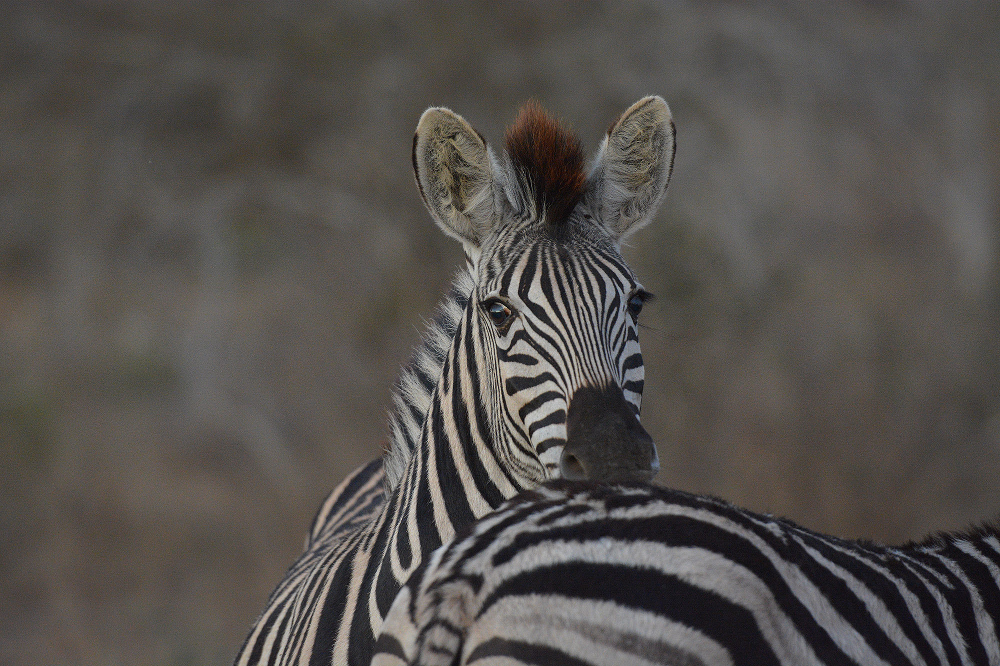 Photograph Young Zebra by Chris du Plessis on 500px