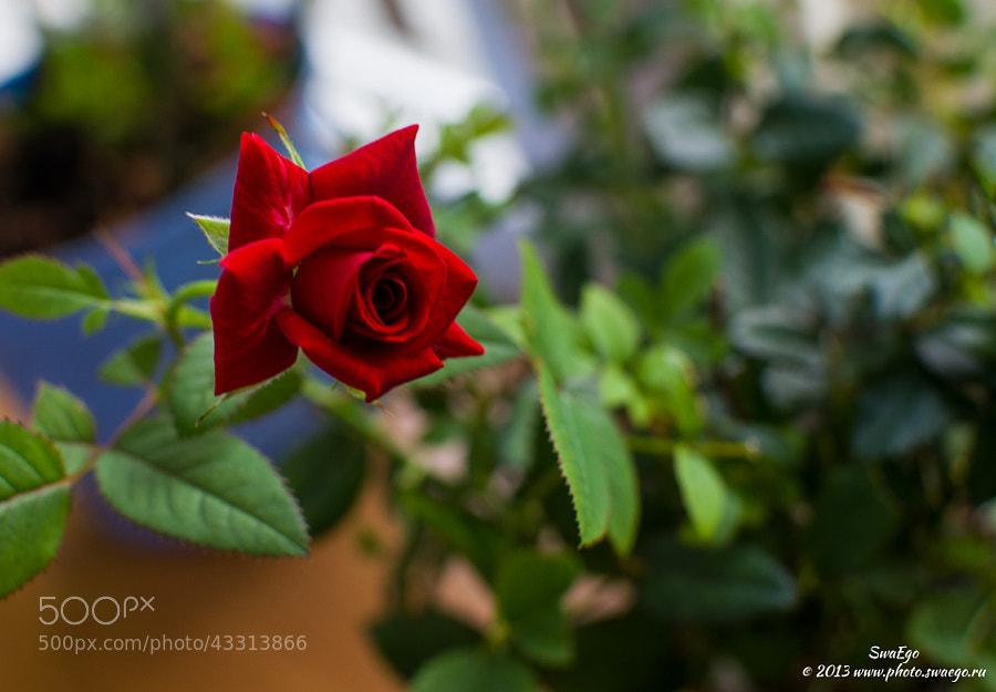 Rose by Tolik Maltsev on 500px.com