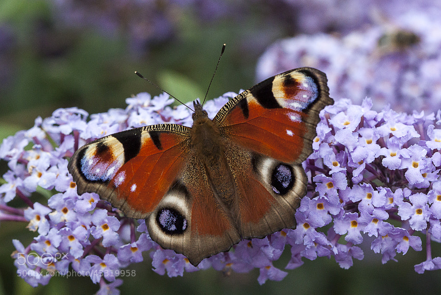 Peacock Butterfly by Katie Halsall on 500px.com