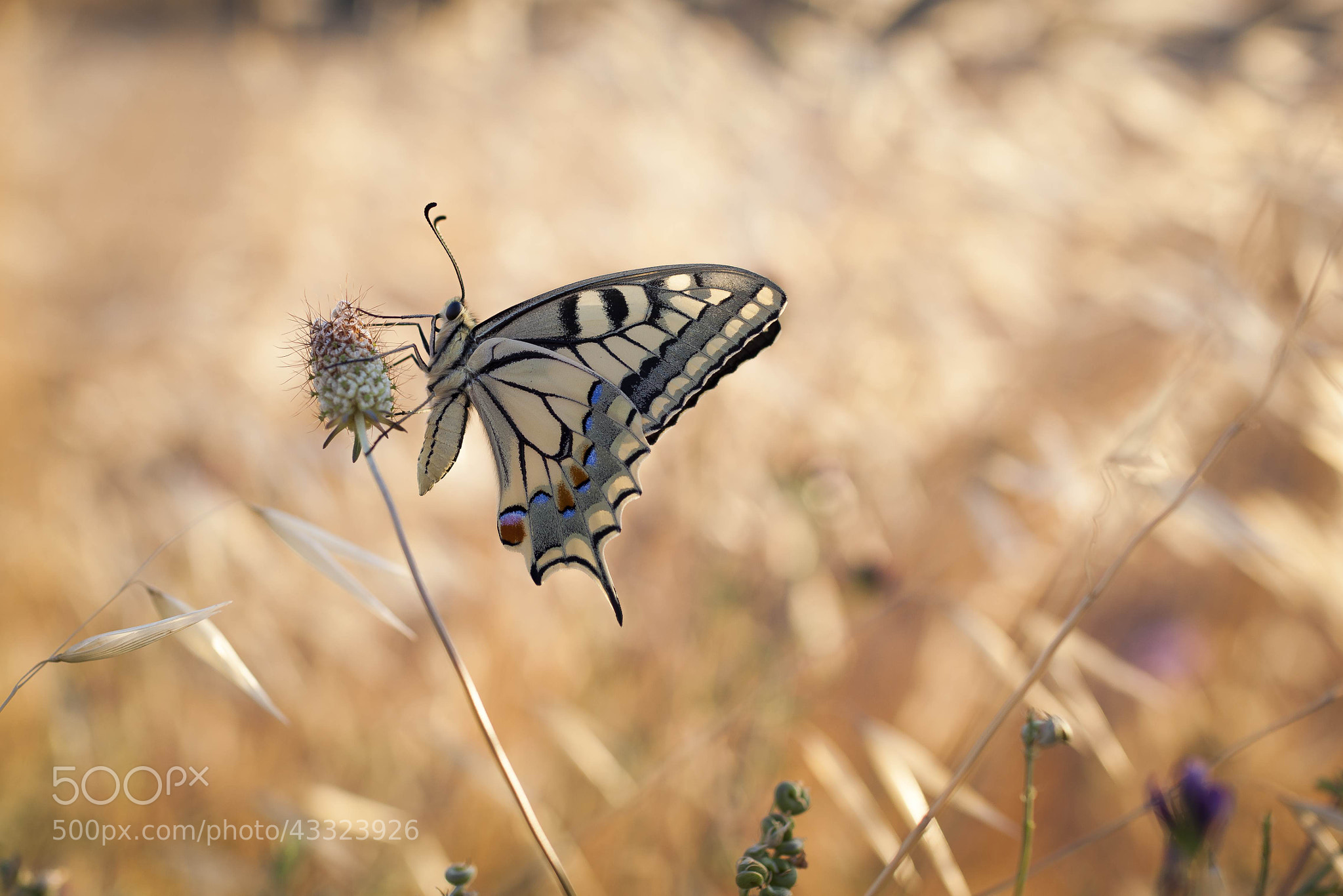 Photograph Papilio Machaon. Just beautiful. Rocallaura by agustipalmero on 500px