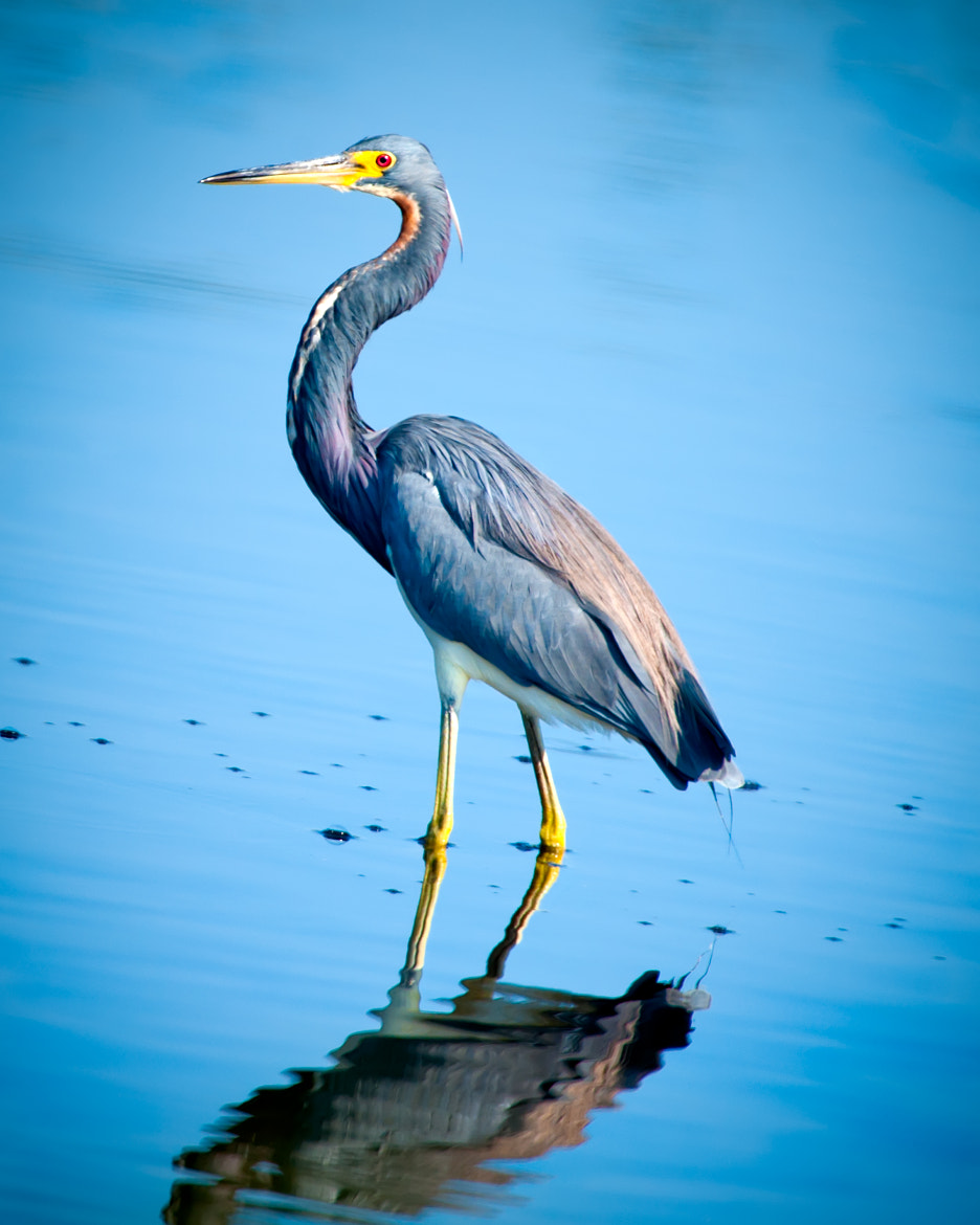Photograph TRi-Color Heron by Jim Hansen on 500px