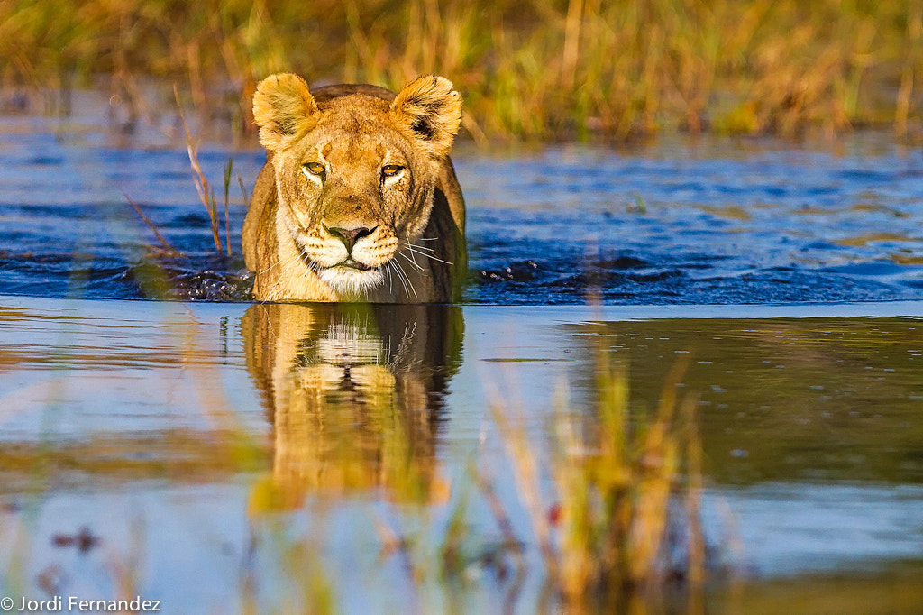 Photograph Swimming lioness by Jordi Fernandez Balague on 500px
