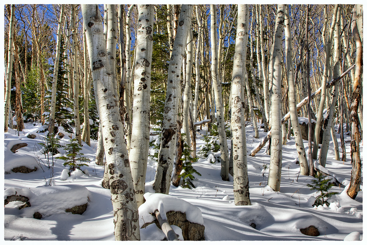 Photograph Wilderness Aspen Grove by Richard Hahn on 500px