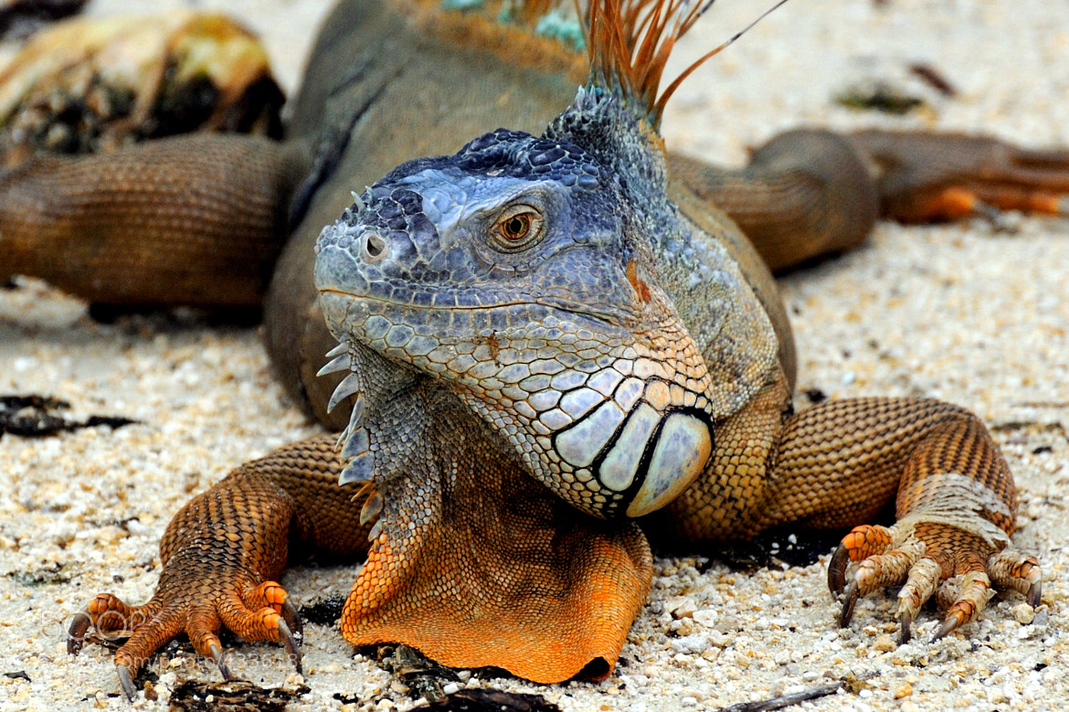 Photograph Iguana by Merlin Franc Anto F on 500px