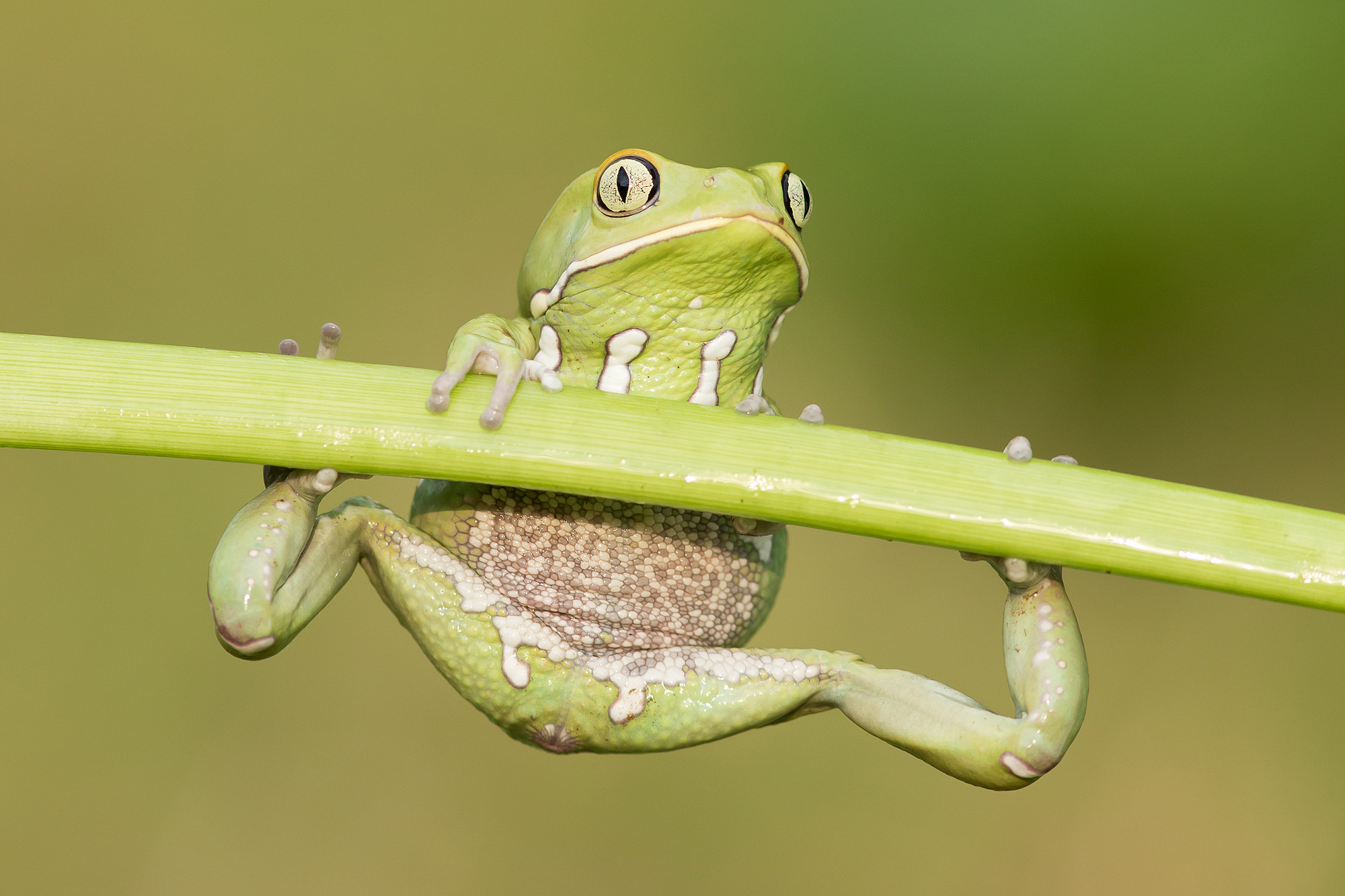 Photograph Waxy Monkey Frog by Milan Zygmunt on 500px