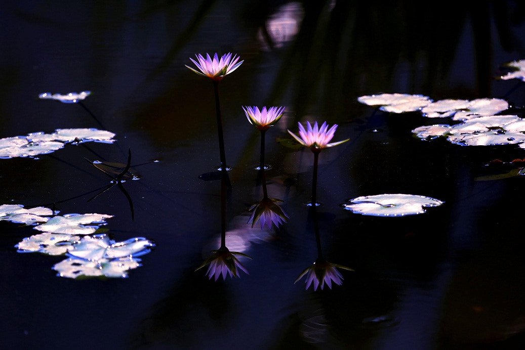 Photograph Dreamy lily! by Zhu xiao ping on 500px