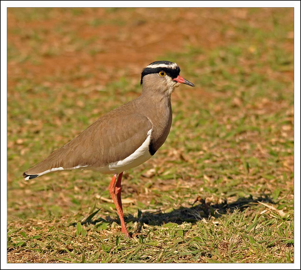Photograph Crowned Plover by Graham Turner on 500px