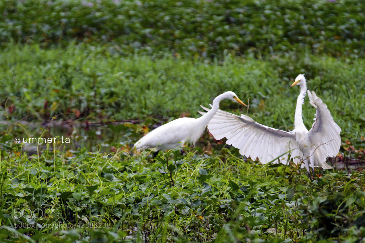 Photograph Egrets in love by Artist Ummer Ta  on 500px