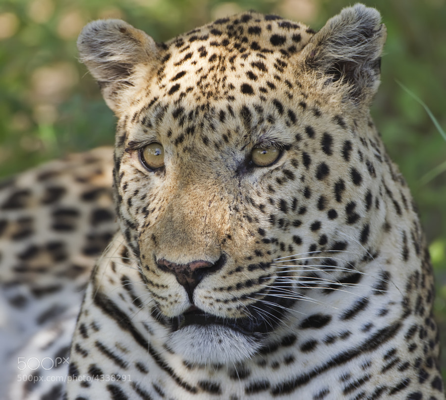 Just returned from an incredible trip to the Kwando concession in Northern Botswana, we kept up our record of at least one Leopard sighting on everyone of our 11 trips there in the past 8 years. This time we had 6 or 7!
