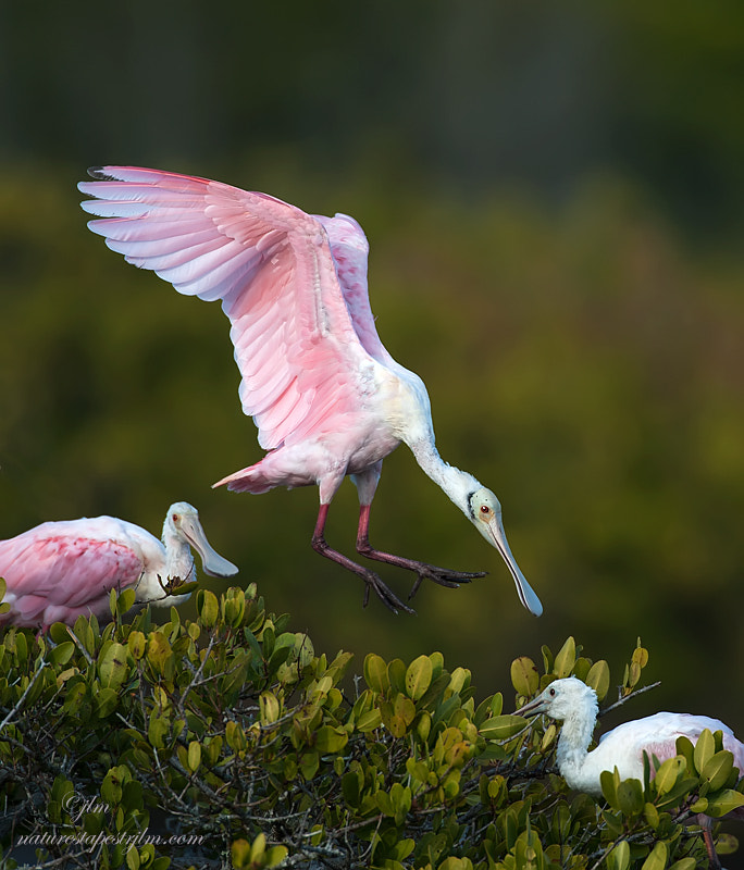 The spoonbills have been quite active lately and this image was taken as the spoonbills were coming in to roost for the night.  They are so beautiful and their color really lights up the sky.