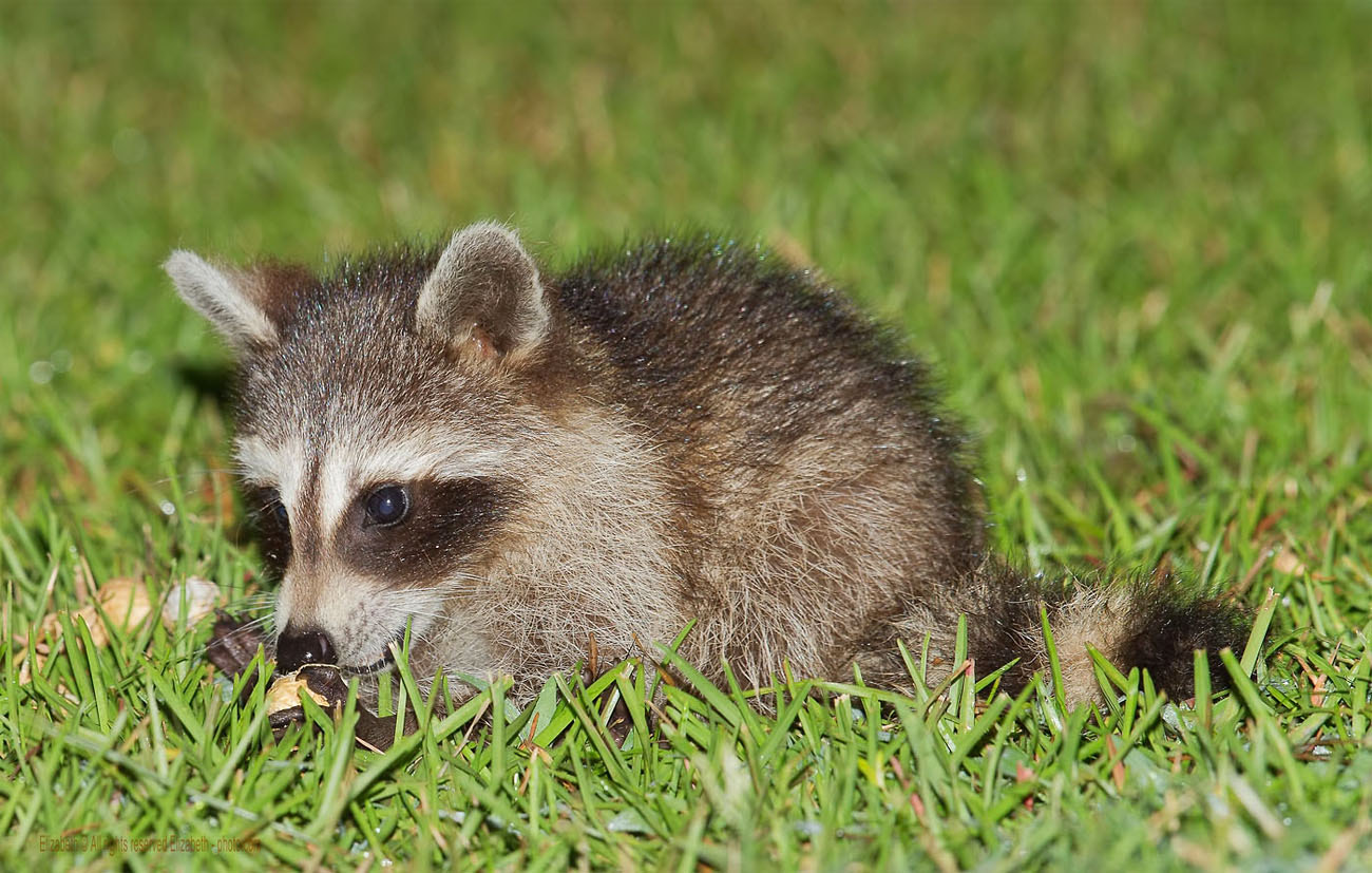Photograph Baby Raccoon by Elizabeth  E. on 500px