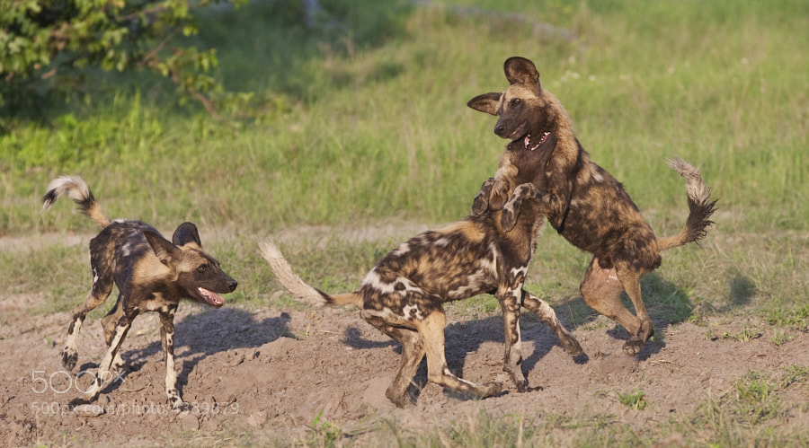 Another image from the first of our many sightings of this 20 strong pack. Enjoying a romp before bed time.