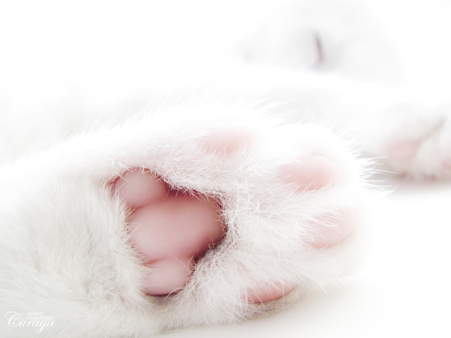Photograph Paw by Andrey  Ospishchev on 500px