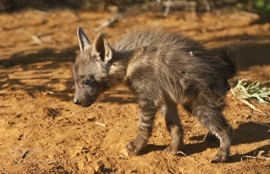 I have only seen Brown Hyena twice before, so finding a den with very youg pups was very special indeed. The light was not exactly conducive and they did not totter far from the den entrance