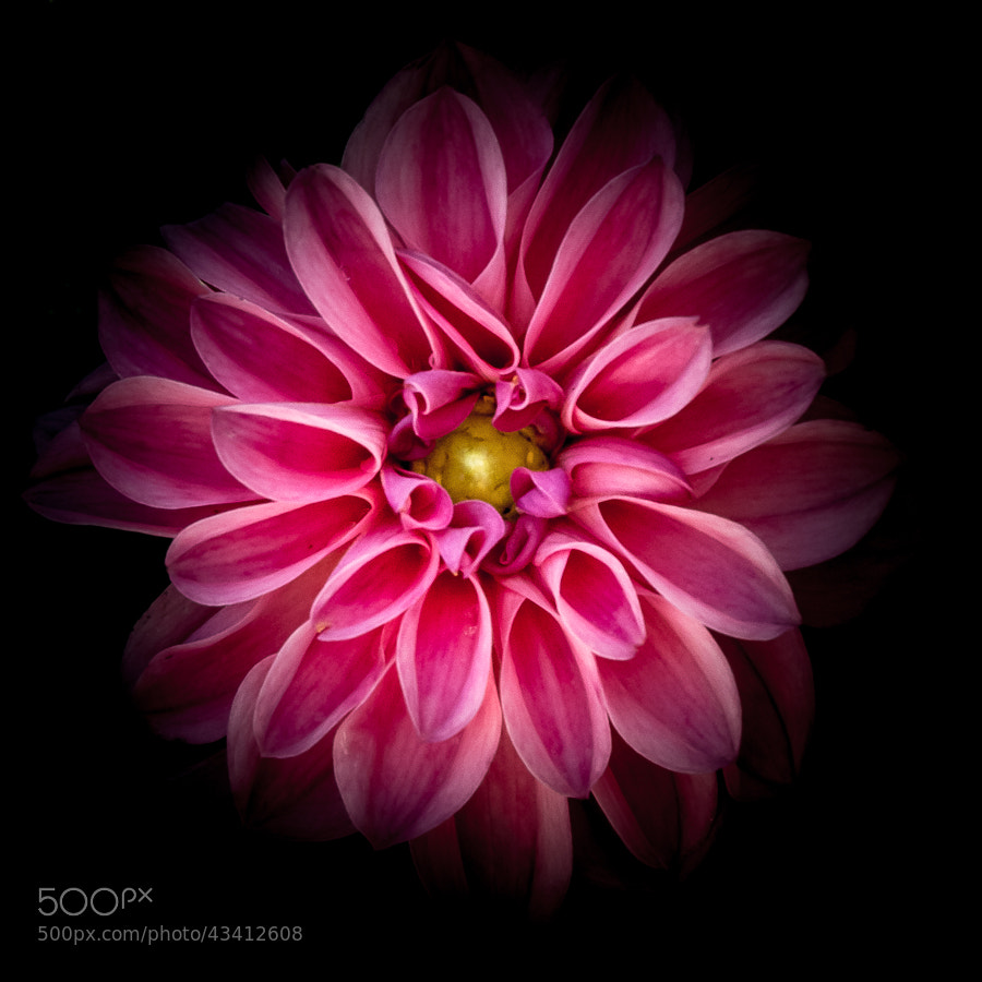 Photograph Study in Pink by Stevan Tontich on 500px