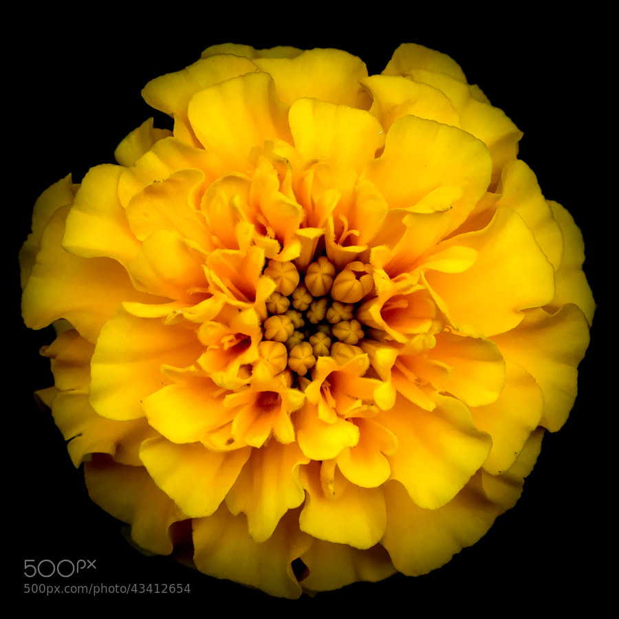 Photograph Study in Yellow by Stevan Tontich on 500px