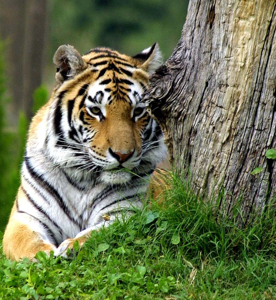 Photograph Bengal Tiger In Deep Thought (Captive) by George McGinn on 500px