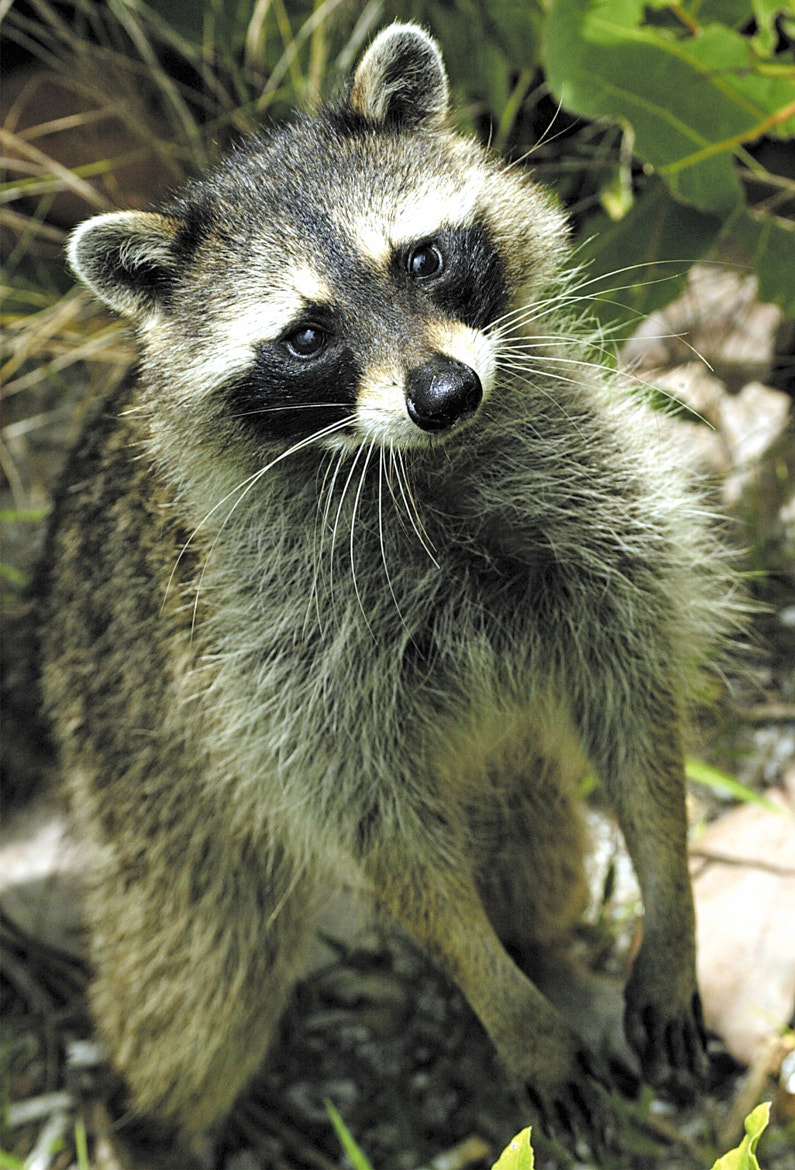 Photograph Raccoons Can Stand on Two Legs (Wild) by George McGinn on 500px