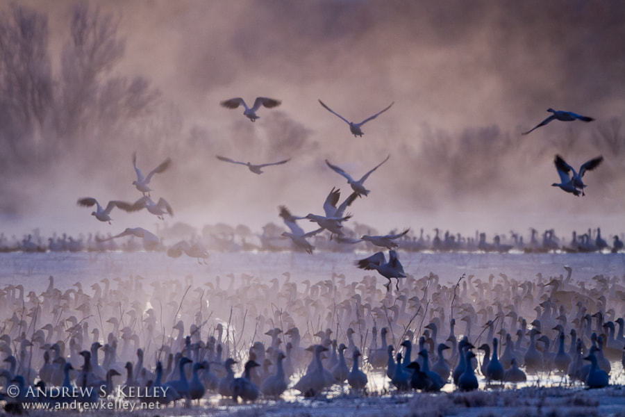 Photograph Snow Geese in Predawn Fog by Andrew Kelley on 500px