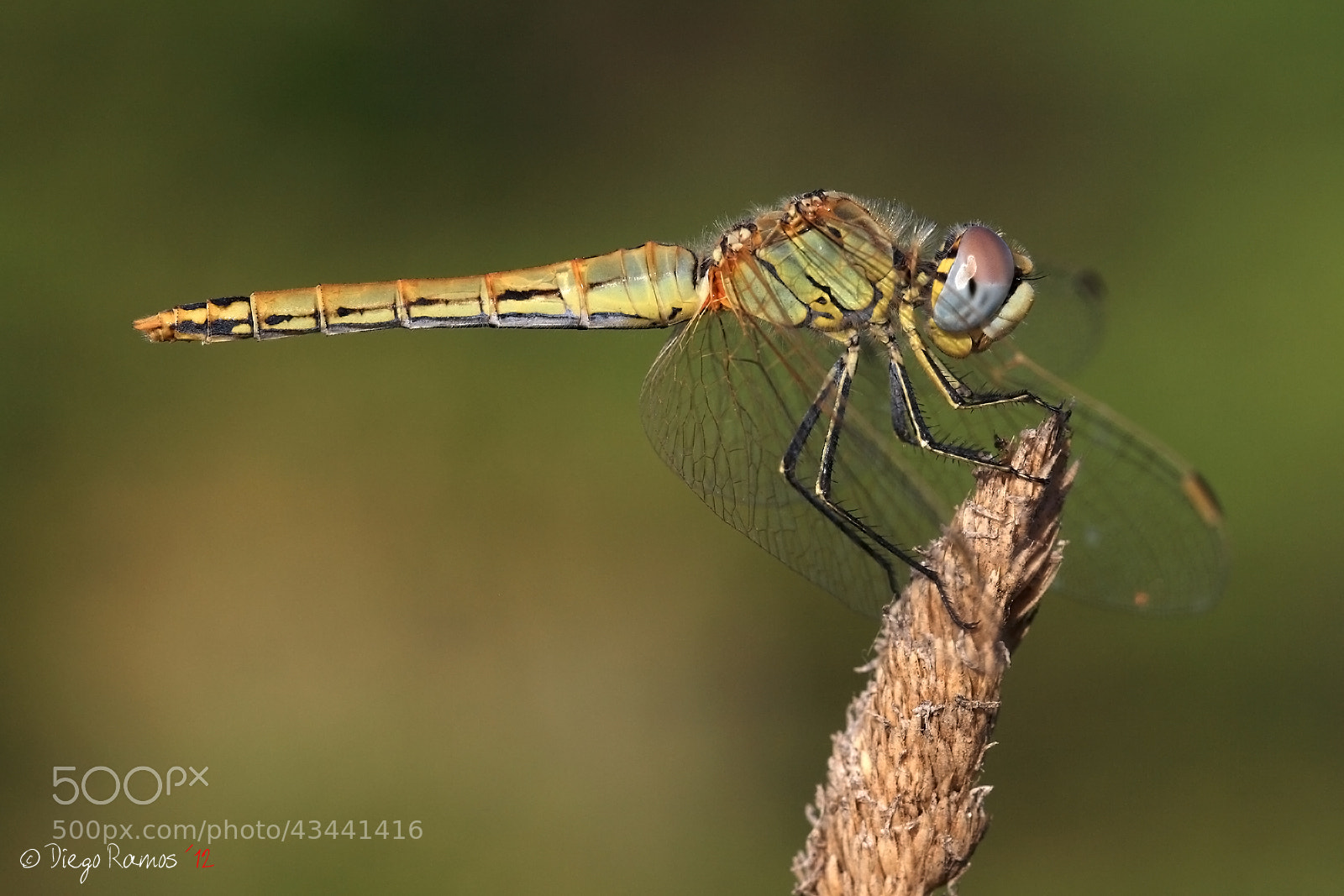 Photograph Dragonfly by Diego Ramos Lobato on 500px