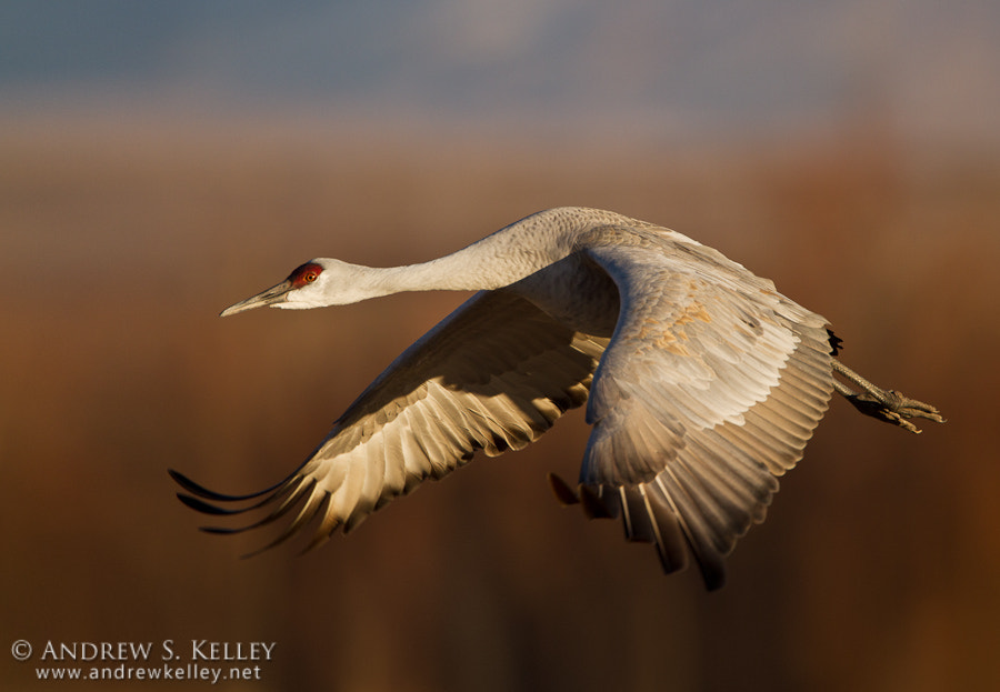Photograph Sandhill in Flight by Andrew Kelley on 500px